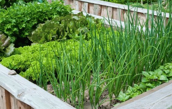 Onions in the garden - overview of species and varieties, with what good neighbors on the beds